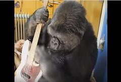 Koko1 (FolsomNatural) Tags: koko gorilla ukulele uke bassguitar flea