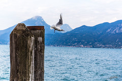 Seagull take off (Steve P Photography) Tags: seagull mwe vogel bird flucht flight take off abhauen zu nahe fly wings 70mm 2470mm f4 6d eos beloved new camera vacation urlaub water mountains berge wasser blue close any closer see must watch tag