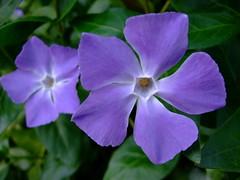 Vinca major (yewchan) Tags: flower flowers garden gardening blooms blossoms nature beauty beautiful colours colors flora vibrant lovely closeup vinca vincamajor periwinkle aquilegia