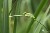 Vert sur vert (photosenvrac) Tags: grenouille rainette nature animal macro vert mare sigma150 thierryduchamp