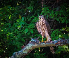 Hawk (Andrew Lincoln Photos) Tags: hawk raptor bird andrewlincolnphotographer nature outdoors