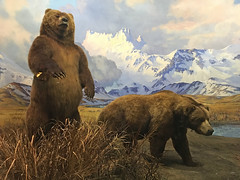 Grizzly Bears (David-five-o) Tags: americanmuseumofnationalhistory newyork manhattan upperwestside centralpark museum bear grizzlybear diorama