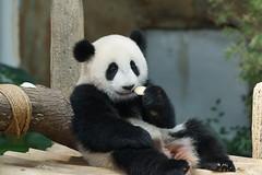 Nuan Nuan (暖暖) 2016-06-16 (kuromimi64) Tags: zoonegara malaysia マレーシア 動物園 zoo nationalzoo zoonegaramalaysia kualalumpur クアラルンプール bear クマ 熊 panda giantpanda パンダ ジャイアントパンダ 熊猫 大熊猫 nuannuan 暖暖