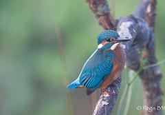 Ce matin, un martin... (Régis B 31) Tags: alcedoatthis alcédinidés commonkingfisher coraciiformes martinpêcheurdeurope ariège bird domainedesoiseaux mazères oiseau explore