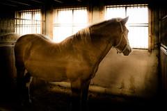 RX100M4-05877 (Blaitteri) Tags: sony vuokatti sotkamo rx100m4 hevonen horse