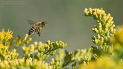 Honey Bee in Flight (Raymond J Barlow) Tags: bee honeybee nature photography closeup ontario canada phototours raymondbarlow