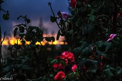 Coucher de soleil  travers rosier... (Crilion43) Tags: arbres france vreaux paysage ciel coucherdesoleil jardin centre rose canon divers tamron fleurs cher objectif blanche brouillard herbe jaune nature nuages rouge rflex sapin saumon thuya