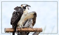 "All grown up!  Osprey (Christine Fusco ~ ""Jersey Strong"") Tags: osprey juvenile pandionhaliaetus fishhawk riverhawk seahawk fisheagle marsh nj christinefusco nikon"
