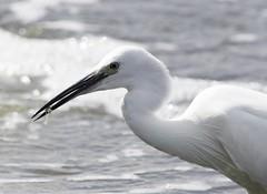 little egret (sueandgraeme) Tags: little egret leightonmoss