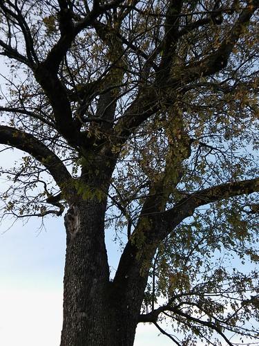 Sorbus domestica 20160820_185842