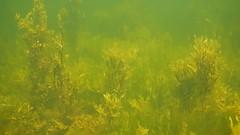 Stickleback (?) and Broadnosed pipefish. Underwater Ribersborg (Alenius) Tags: underwater under water ocean snorkling snorkelling snorkeling dive diving resund malm sweden skne tng sea snorkla sverige undervatten vatten hav havet dyk dyka nikon coolpix aw130 video film filming movie