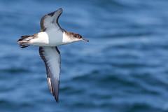 Manx Shearwater (coopsphotomad) Tags: manxshearwater nature wildlife sea flight bif blue canon 7dmk2 avian scotland mull sealifesurveys coll water natura
