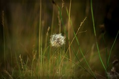 fluffy white (A Pourshariati) Tags: white green fluffy nature grass outdoor daylight summer 2016 pentax kr sigma30mm park
