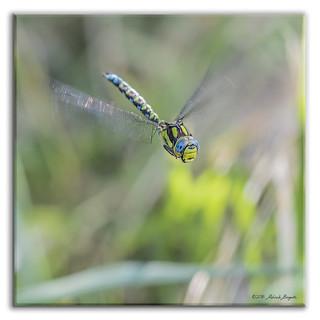Southern Hawker Dragonfly in flight (Aeshna cyanea) 2