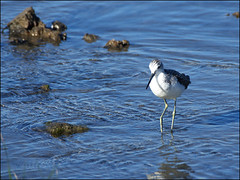 greenshank 2 (Philip Percival) Tags: leigton moss