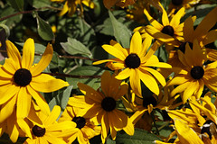 Vagharshapat (Ejmiatsin) (dese) Tags: flowers vagharshapat echmiadzin etchmiadzin ejmiatsin armavirprovince armenia july16 2016 edzjmiatsin etschmiadsin wagharschapat emiadzin  july juli sommar summer blomstrar armnie