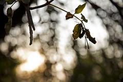 Little Leaves Bokeh (The.Dark.Passenger.) Tags: orange tree verde green leaves foglie branch dof bokeh foglia albero cian controluce rami arancione celeste sfocato foglioline