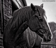 MAGIC ( B.H.B. PHOTOGRAPHY ) Tags: blackandwhite bw horse brown black barn georgia flickr farm magic mane horsefarm brownandwhitehorse
