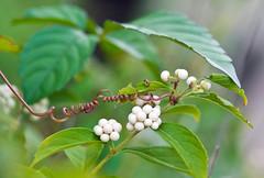 White Beauty Berries With Vine Tendril (aeschylus18917) Tags: danielruyle aeschylus18917 danruyle druyle ダニエルルール ダニエル ルール japan 日本 nature macro nikon d700 nikond700 treee berry purple asterids lamiales verbenaceae callicarpa ムラサキシキブ japanesebeautyberry むらさきしきぶ callicarpajaponica white vine tendril 105mmf28gvrmicro 105mmf28 nikkor105mmf28gvrmicro 105mm 花 berries fruit flowers murasakishikibuberries lamiaceae flower creepingvine seeds japanesebeautyberries