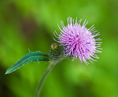 Cirsium japonicum (aeschylus18917) Tags: danielruyle aeschylus18917 danruyle druyle ダニエルルール ダニエル ルール japan 日本 nikon d700 nikond700 gunma gunmaprefecture 群馬県 花 flower 200400mm thistle pxt asteraceae carduoideae cynareae spearthistle アザミ cirsiumjaponicum のアザミ