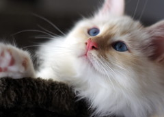 D*CaTaLi's Iniko, cream tabby point Birman kitten ($kia) Tags: point kitten sony tabby cream birman a55