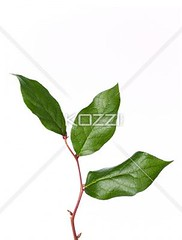 leaves on stem against white (carlflow8877) Tags: life plants white plant macro green nature floral gardens closeup landscape leaf branch pattern bright gardening patterns clean foliage growth part veins lush botany isolated