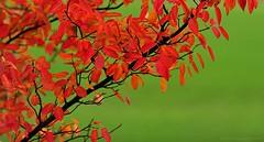 Red & Green (291-366) (nikkorglass) Tags: autumn red oktober green october 70200 höst 291 häggmispel d700 366project 291366