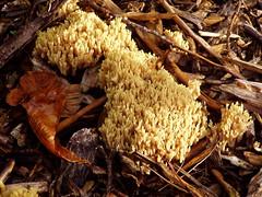 Fungi 'colony' (DizDiz) Tags: uk wales conwy olympusc720uz