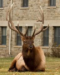 The rut seems to be over... (Patty Bauchman) Tags: nature animals wildlife yellowstonenationalpark yellowstone elk rut bullelk