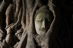 """""""All things must pass away"""" (LifeisPixels - Thanks for 3 MILLION views!) Tags: world plant tree heritage statue stone lens thailand temple ruins asia image head buddha buddhist sony flash 14 ruin siamese buddhism thai figure southeast root siam gel a77 cto f3556 ayudhya mahatat sal16105 lifepixels 16105mm hvlf43am lifeispixels lifeispixelscom"""