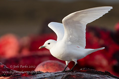 Ivory Gull (www.bigramphotography.com) Tags: red alaska blood whale rare barrow ivorygull
