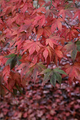 SHEFFIELD RED (Adam Swaine) Tags: county uk autumn trees red england english beautiful leaves rural canon reeds sussex countryside flora westsussex britain east autumncolours nationaltrust 2012 counties naturelovers sheffieldpark 24105mm autumnviews thisphotorocks adamswaine mostbeautifulpicturesmbppictures wwwadamswainecouk ntsussex