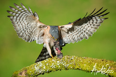 Sparrowhawk 7 (TheApertureMan) Tags: birds hawk ngc npc raptor prey birdsofprey sparrowhawk accipiternisus physis specanimal bestshotoftheday thewildlife hennysanimals me2youphotographylevel2 me2youphotographylevel3 me2youphotographylevel1 freedomtosoarlevel1birdphotosonly freedomtosoarlevel2birdphotosonly freedomtosoarlevel3birdphotosonly freedomtosoarlevel4birdphotosonly freedomtosoarlevel5birdphotosonly freedomtosoarlevel6birdphotosonly me2youphotographylevel4 freedomtosoarlevel3birdsonly freedomtosoarlevel5birdsonly freedomtosoarlevel4birdsonly freedomtosoarlevel6birdsonly freedomtosoarlevel3birsdonly