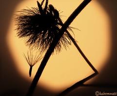 Sunset17 (kairemwatt) Tags: sunset sun sonnenuntergang herbst pollen samen sonnenlicht