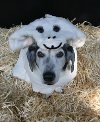 "Dog Dressed as a ""Woof in Sheep's Clothin..."