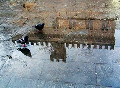 Merli e piccioni (meghimeg) Tags: reflection puddle pidgeons chiavari 2012 merlo riflesso piccioni merlon pozzanghera