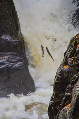 "Black Linn Falls Salomn Leaping • <a style=""font-size:0.8em;"" href=""http://www.flickr.com/photos/53908815@N02/8145187821/"" target=""_blank"">View on Flickr</a>"