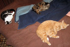 Three of my kids lounging on my waterbed (Hairlover) Tags: pet cats pets public cat ginger kitten tabby kitty kittens kitties kittys oldcat multiplecats threeleggedcat agedcat allcatsnopeople catcatskittykitties 23yearoldcat