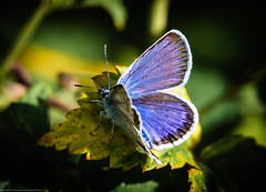 Blue butterfly (Fredde Nilsson) Tags: blue butterfly blvinge polyommatini