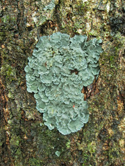 foliose lichen of the most gorgeous colour, when wet, that may be Coccocarpia, Pannaria, or perhaps Degelia species (imbala) Tags: green lichen foliose wilsonscreeknsw
