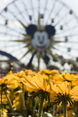Sunny Side Up-Explored (Diana Odom (disneywifey)) Tags: california flowers flower disney mickey mickeymouse ferriswheel californiaadventure disneycaliforniaadventure funwheel mickeysfunwheel