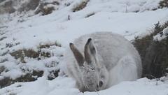 Mountain Hare in a Snow Blizzard (Sandra Standbridge.) Tags: snow scotland highlands cairngorms mountainhare sandrastandbridge