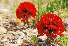 Bomarea ovallei - Guanaku (Guanaku) Tags: chile flores de desert blanca atacama desierto nacional norte blooming florido guanaco guanaku guanakucom