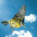 Blue Tit in flight withe seed