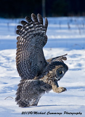 Great Gray Owl (Michael Cummings) Tags: brown ontario canada nature birds animals wildlife ottawa greatgrayowl wildlifephotographer birdpics naturephotography animalphotography wildlifephotography naturepics specanimal birdpictures animalpics animalphotograph naturephotograph avianexcellence michaelcummings wildlifepics wildlifephotograph blackbirdphotography greatgrayowlpictures greatgrayowlpics greatgrayowlphotography