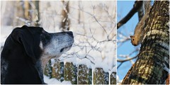 3/52 come down here and say that! (huckleberryblue) Tags: winter dog snow tree squirrel gracie coonhound week3 bluetickcoonhound 52weeksfordogs diptychbydiptic