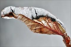 ~~Feuille de glace tte de serpent...~~ (Jolisa) Tags: winter macro ice closeup hiver glace feuille croquenature janvier2013
