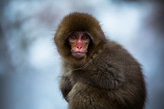 Living in the Snow (moaan) Tags: winter baby cold zeiss dof bokeh 100mm utata nagano chill ze jigokudani snowmonkey japanesemacaque f20 endure makroplanar 2013 canoneos5dmarkiii jigokudanisnowmonkeypark babysnowmonkey jigokudanispa carlzeissmakroplanart100mmf20ze