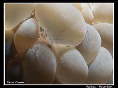 Moalboal - House reef (CATDvd) Tags: philippines shrimp cebu filipinas gamba housereef underwaterphotography moalboal fotosub filipines catdvd davidcomas canonpowershotg10 august2012 httpwwwdavidcomasnet httpwwwflickrcomphotoscatdvd