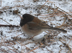 Oregon junco (psiegle) Tags: junco darkeyedjunco oregonjunco